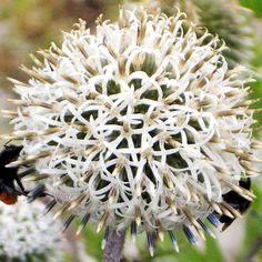 Echinops Plant - Arctic Glow: Imposing border perennials bearing large, globe-shaped white flower heads on reddish-brown stems, above mounds of slightly spiky, silver-grey foliage. Flowers July-S… - Dobies Summer Flowers, Cut Flowers, White Flowers, Perennial Border Plants, Sutton Seeds, Sea Holly, Planting Flowers, Flower Plants, Back Gardens