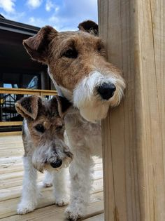 Wirehaired Fox Terrier, Fox Terriers, Wire Fox Terrier, Terrier Dogs, Doggies, Dogs And Puppies, Scottish Terrier, Pet Grooming, My Animal