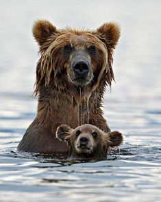 Did you know? Grizzlies are very good swimmers. Perhaps not terribly fast or agile as Michael Phelps, but certainly comfortable in water.