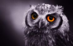 owl photos | Night Owl Wallpaper | Animal Wallpapers