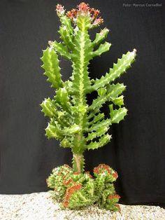 Plantas suculentas - Marcus Corradini: Euphorbia lactea var. cristata