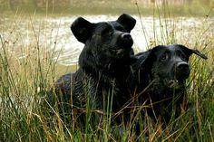 2 Black Labrador Retrievers - Some people have said they look like black bears!