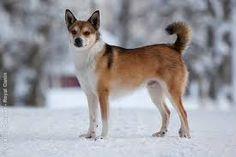 norwegian lundehund