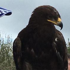 The eagle a bonny bonny eagle #stripeinteriors come and see today