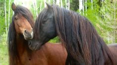 A Fort Frances, Ont., farmer has been recognized for her work preserving a rare breed of wild horse that used to be plentiful in the woods of northwestern Ontario and northern Minnesota. Rare Horses, Wild Horses, Rare Horse Breeds, Rare Breeds, Windsor London, Frances Farmer, Canadian Horse, Horse Ranch, Beautiful Horses