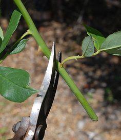 Softwood Rose Cuttings   Propagate Roses