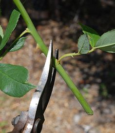 Softwood Rose Cuttings | Propagate Roses