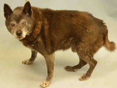HANOI TO BE DESTROYED‼️ - 01/19/17 - Super Urgent Manhattan - HANOI - #A1101513 - NEUTERED MALE TAN/GRAY CANAAN DOG MIX, 12 Yrs - STRAY - NO HOLD Reason STRAY - Intake 01/13/17 Due Out 01/17/17 - POSS. CATARACTS - ALLOWED MIN. HANDLING, NERVOUS AND TENSE BUT ALSO SEEMS PAINFUL