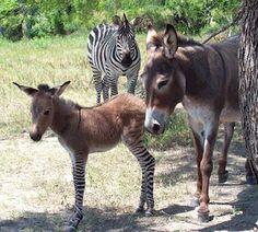 Filhote raro de zebra com jumenta nasce na Itália após pulada de cerca