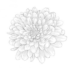 Illustration about Beautiful monochrome black and white dahlia flower isolated on white background. Hand-drawn contour lines and strokes. Illustration of floral, black, image - 40907940 Butterfly Black And White, White Lotus Flower, Black And White Abstract, Black Dahlia, Aster Tattoo, Dahlia Flower Tattoos, Birth Flower Tattoos, Heart Tattoo Designs, Flower Tattoo Designs