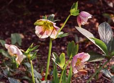 hellebores at John Brookes denmans garden by David Edwards by cc_