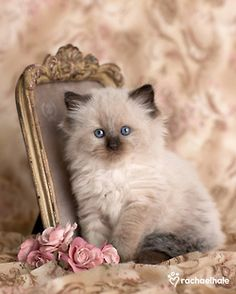sweet little kitty..I used to have one of these Himalayan kittens.