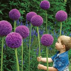 "Gladiator Allium; L Allium. Tolerate poor garden soil; once established they will naturalize easily. plant in Fall; full sun; cut flower; deer resistant; Height 48""; bloom June - July; 18-20 cm. in circumference; Zones 5 to 9"