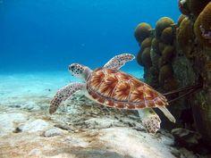 http://www.bonaireturtles.org/explore/bonaires-sea-turtles/img/Green%20turtle%20full%20body%20i.d.%201%20-%20Robert%20van%20Dam.jpg