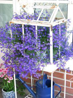 beautiful blue Lobelia in a Wardian house