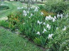 Lirio blanco - iris germanica, altura máxima 60 a 90 cms, sol o semisombra, tolera heladas, crecimiento rápido, florece en Octubre y Noviembre.