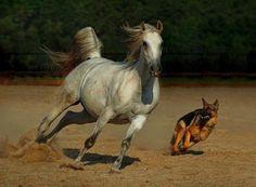 German shepherd and horse playing