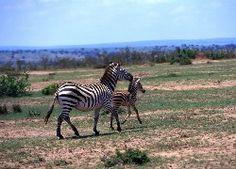 Dwie, Zebry