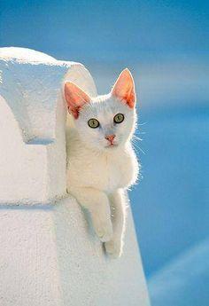 greek cat Greece white cat