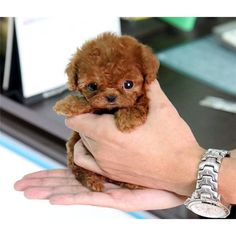 Teacup poodle! Poodles are the most intelligent breed!