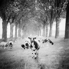 Gerald Berghammer, Ina Forstinger - Shaun the Sheep Study Netherlands - Black and White Fine Art Animals Images Fine Art Photography, Landscape Photography, Panorama Camera, Black And White Landscape, Black White, Shaun The Sheep, Powerful Images, Animals Images, Black And White Photography