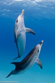Atlantic spotted dolphins beautiful ocean, animals beautiful, underwater photographer, marina, underwater world Beautiful Sea Creatures, Animals Beautiful, Cute Animals, The Ocean, Ocean Life, Underwater Animals, Bottlenose Dolphin, Sea Dolphin, Underwater Photographer