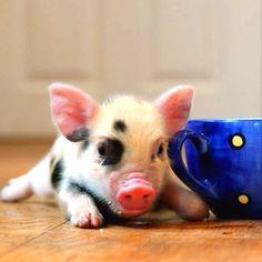 25+ best ideas about Teacup piglets on Pinterest   Baby teacup ...
