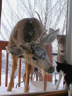 Deer on the porch with cat at the window