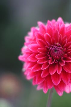 Vivacious blooming dahlia