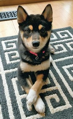 Kona the Shiba Inu - beautiful young lady!