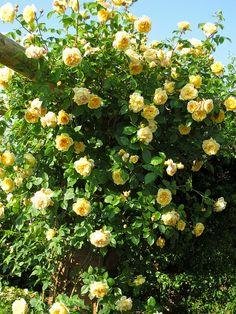 'Teasing Georgia' English Climbing Roses A pretty yellow rose that can be grown as a short climber on a rose or a pillar