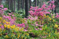 Azaleas in Haaga Rhododendron Park in Helsinki, Finland.