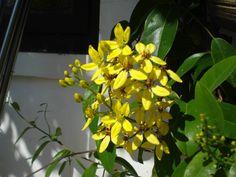 yellow flowering vine..