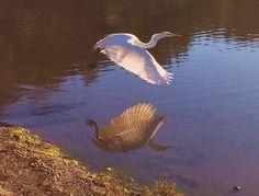 Egret reflection 1