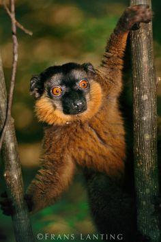 Frans Lanting - Brown lemur, Eulemur fulvus, Madagascar