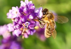 Herbs That Attract Pollinating Insects...Complement your vegetable garden with pollinator-seducing herbs.