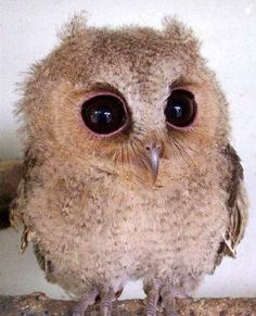 how adorable is this little creature? =) #baby #owl