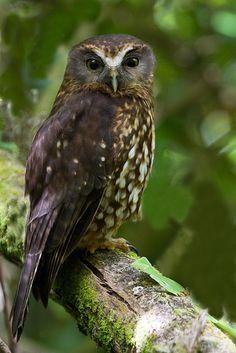 Ninox novaeseelandiae (Strigidae), better known as Morepork and Tasmanian Spotted Owl, is, unfortunately the last remaining native owl in New Zealand. Nocturne, Spotted Owl, Birds Online, New Zealand Art, Owl Photos, Beautiful Owl, Wise Owl, Mundo Animal, Big Bird