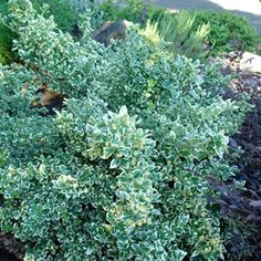 A wintergreen creeper with variegated leaves of deep green and creamy white. Oak Island, White Gardens, Creeper, Front Yard Landscaping, Creamy White, Topiary, Yard Ideas, Shrubs, Perennials