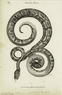 Royal boa. (1802) from General zoology, or systematic natural history http://digitalgallery.nypl.org/nypldigital/id?807616
