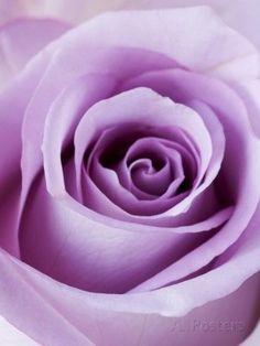 Lavender and Lilac, too Light Purple Rose Photographic Print Light Purple Flowers, Purple Love, Pastel Purple, All Things Purple, Shades Of Purple, Deep Purple, Magenta, Purple Lilac, Yellow Roses