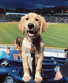 Dog And Puppies Golden Retriever .Dog And Puppies Golden Retriever Golden Retrievers, Golden Retriever Mix, Best Dog Toys, Best Dogs, Beautiful Dogs, Animals Beautiful, Minions, Dog House Air Conditioner, Animals And Pets