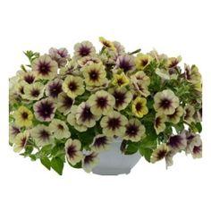 Petunia Cascadias Autumn Mystery Mystery, Bloom, Autumn, Plants, Beautiful, Annual Plants, Replant, Fall Season, Fall