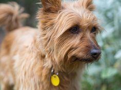 Simply Canine — Australian Terrier