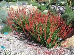 "Firecracker Penstemon - Species: Penstemon eatonii, Zone: 4-9, Height: 30"", Spread: 30"", Light: Sun, Bloom: Red/May-Jun, Utah Native, Notes: Very low water requirement. Attracts butterflies and hummingbirds."