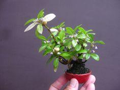 盆栽:丈の高い木は、よく転がる の画像|春嘉の盆栽工房