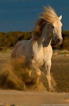 Crinière au vent et sabots battants, le cheval de Camargue donne à cette région des airs sauvages et indomptables. De tous les paysages camarguais, ce cheval de selle partage la vedette avec les taureaux et les flamants roses.