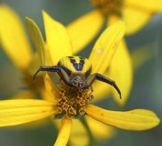 Gorgeous yellow crab spider.