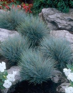Blue Fescue 'Blaufuchs' • Festuca glauca 'Blaufuchs' • Grey Fescue 'Blaufuchs' • Plants & Flowers • 99Roots.com
