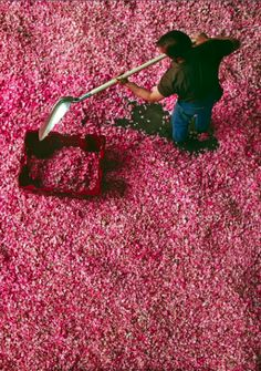WILD THICKET - A worker at the Roure perfume plant in Grasse, France, scoops up the morning's rose harvest at the end of May. These rose petals will be processed immediately into an absolute, the aromatic liquid which is the basic component of perfume; photographed by Michael Freeman